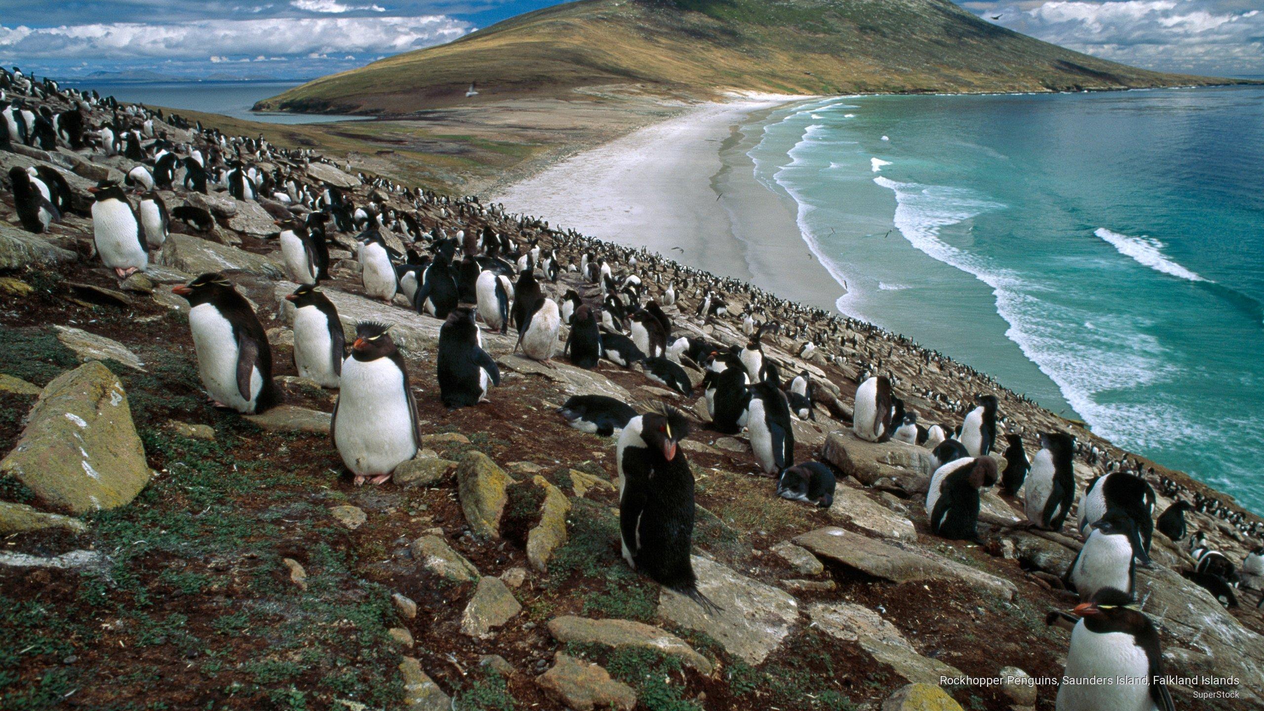 Rockhopper Penguins, Saunders Island, Falkland Islands