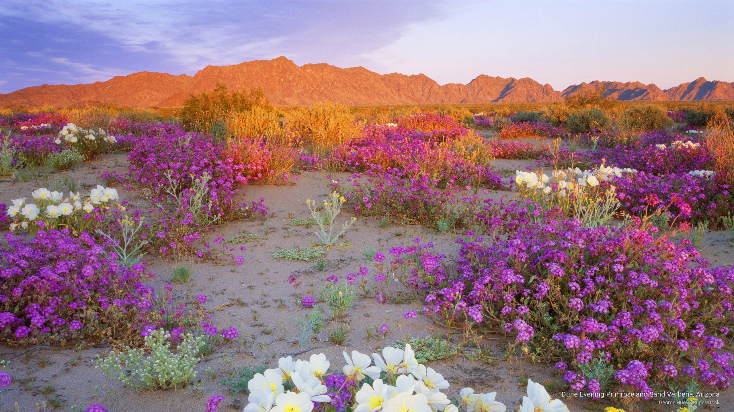 Dune Evening Primrose and Sand Verbena, Arizona