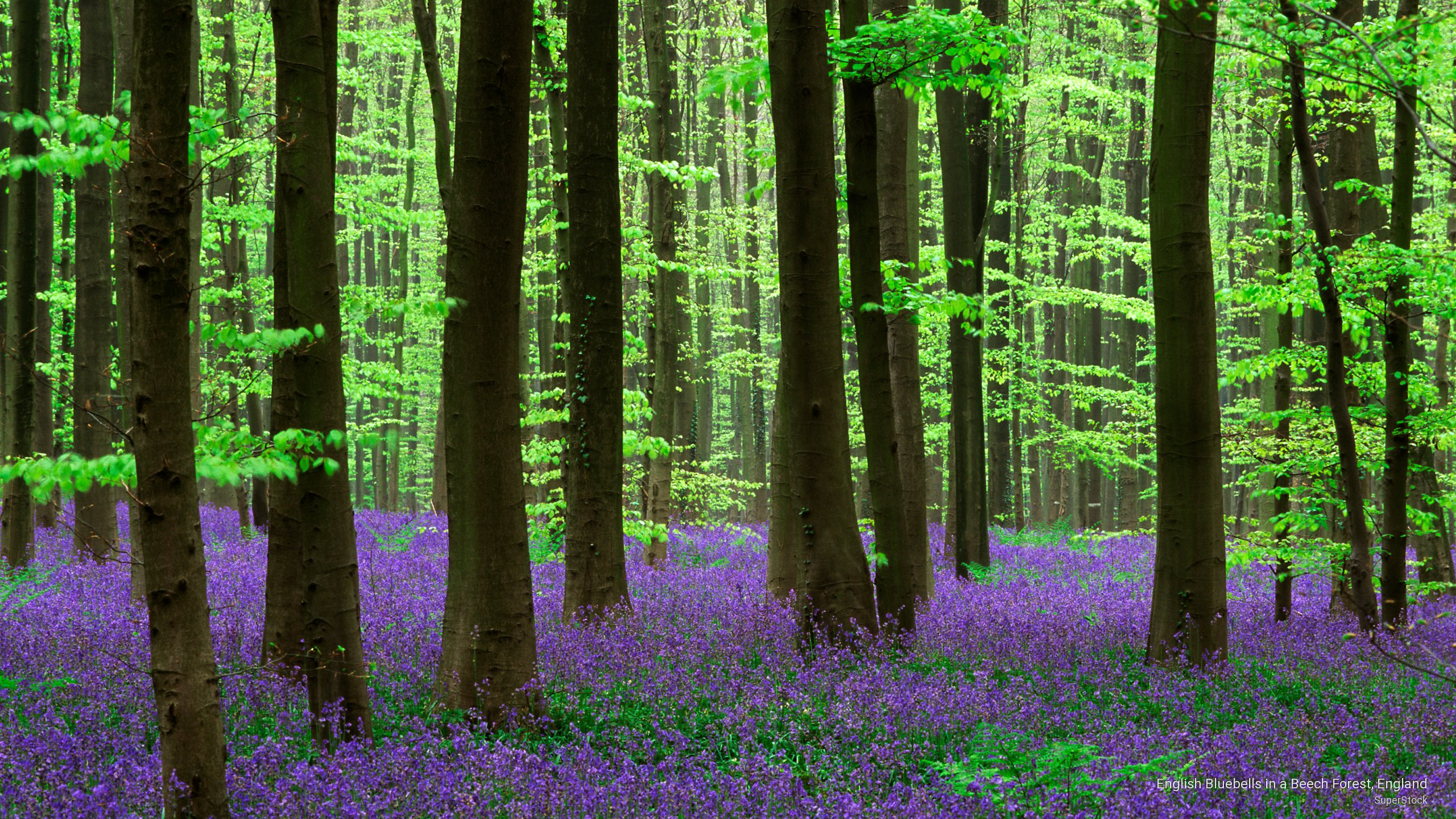 English Bluebells in a Beech Forest, England