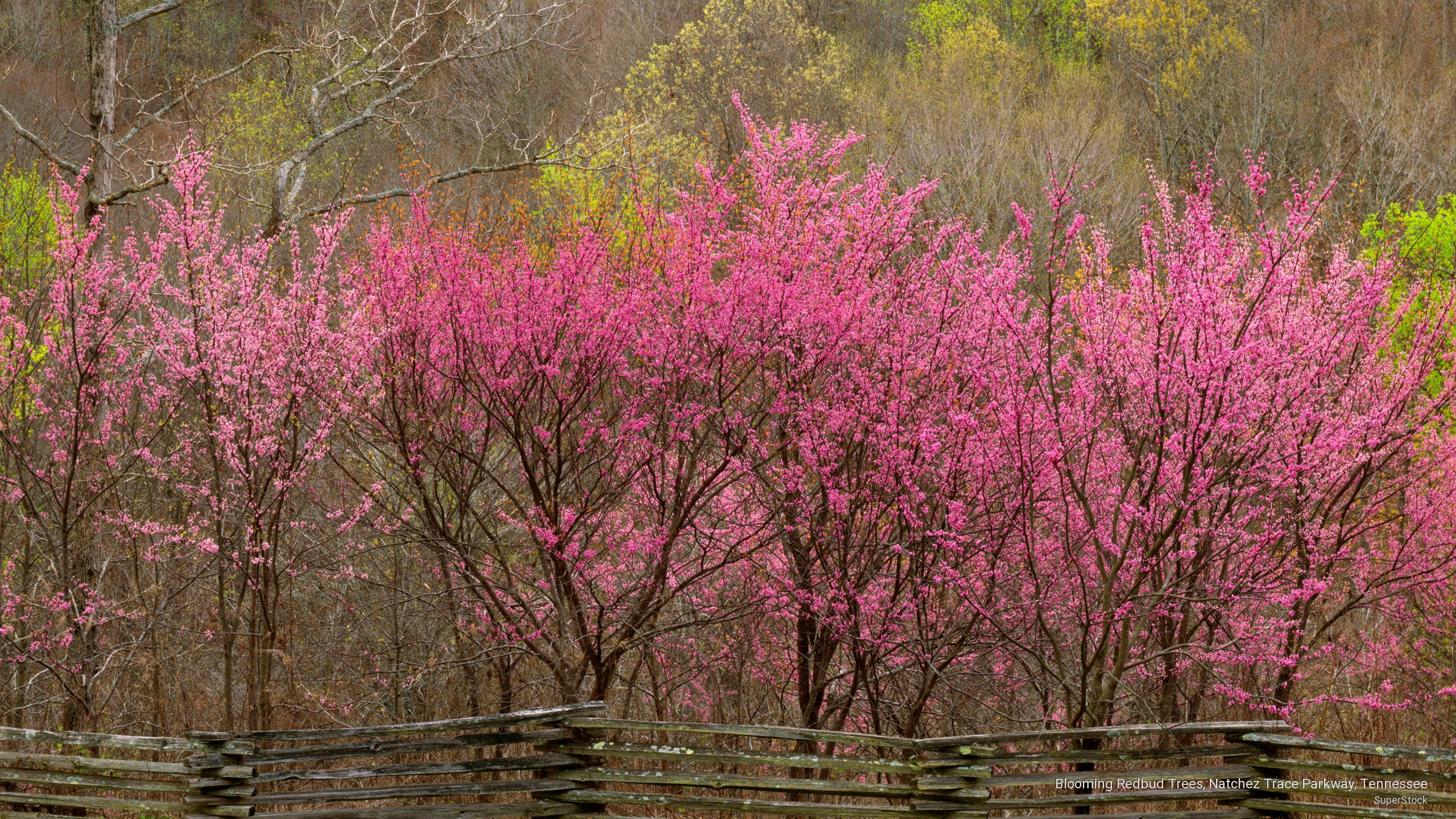 Blooming Redbud Trees, Natchez Trace Parkway, Tennessee
