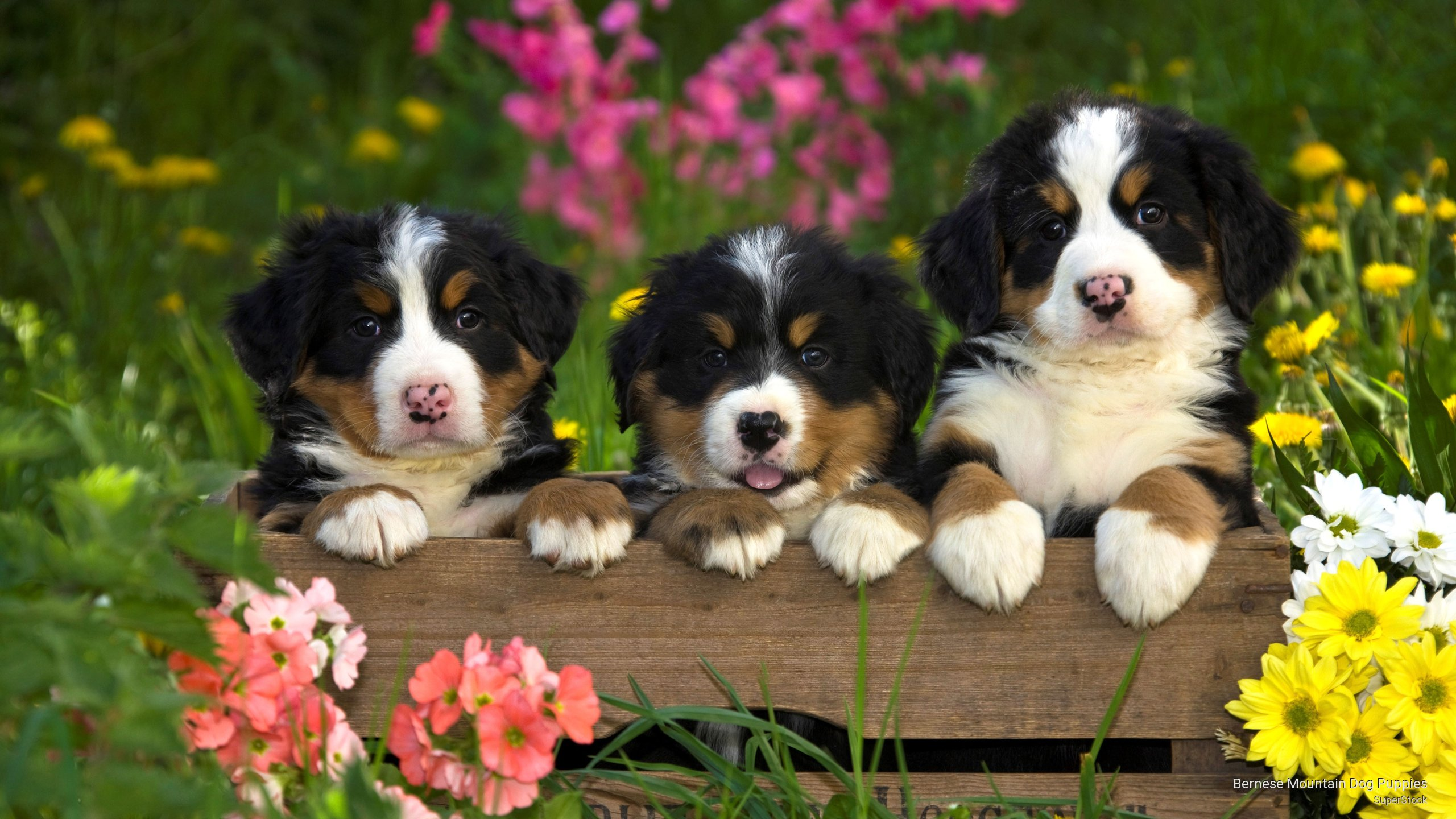 bernese mountain dog puppies wallpaper