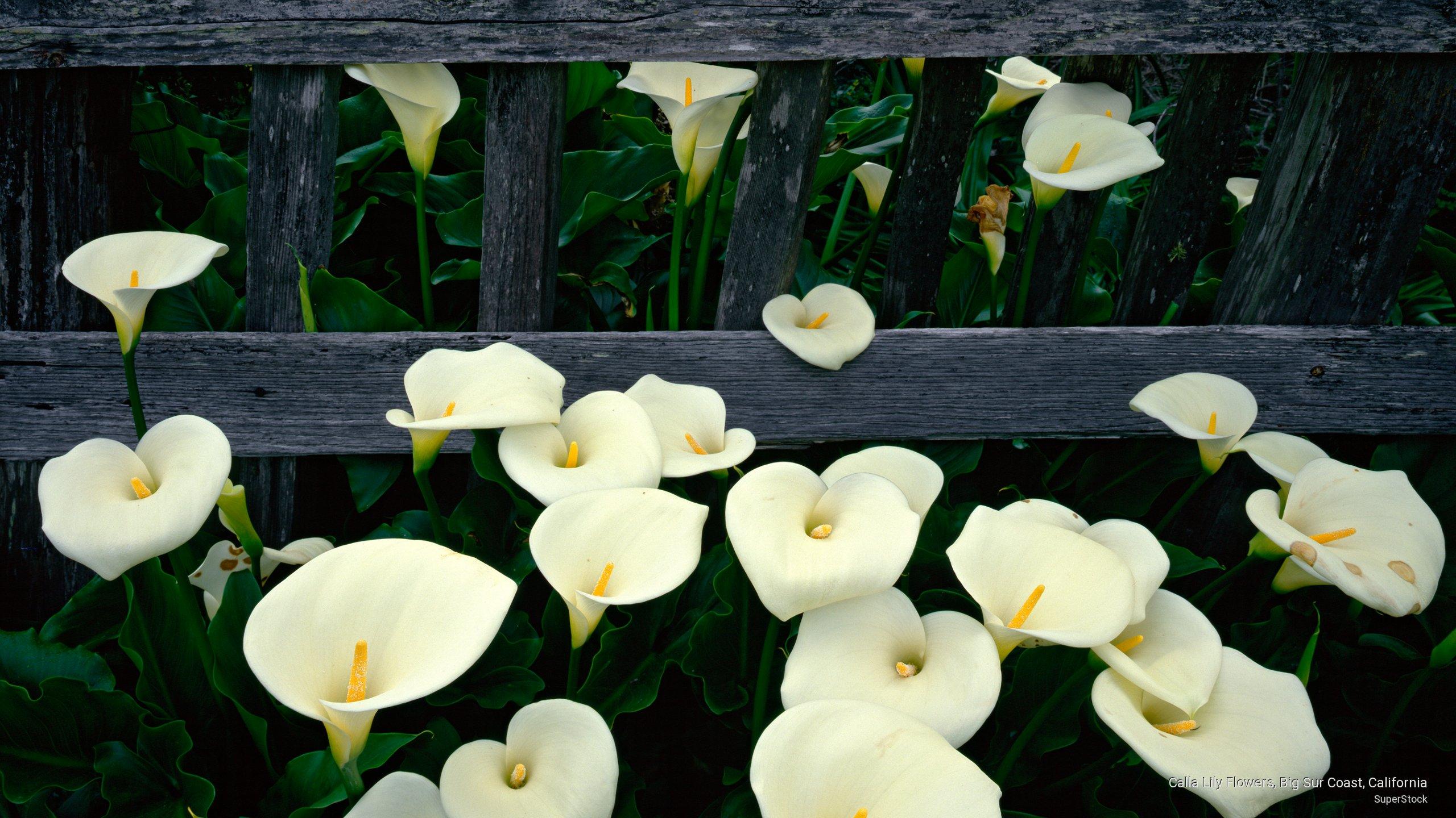 Calla Lily Flowers, Big Sur Coast, California