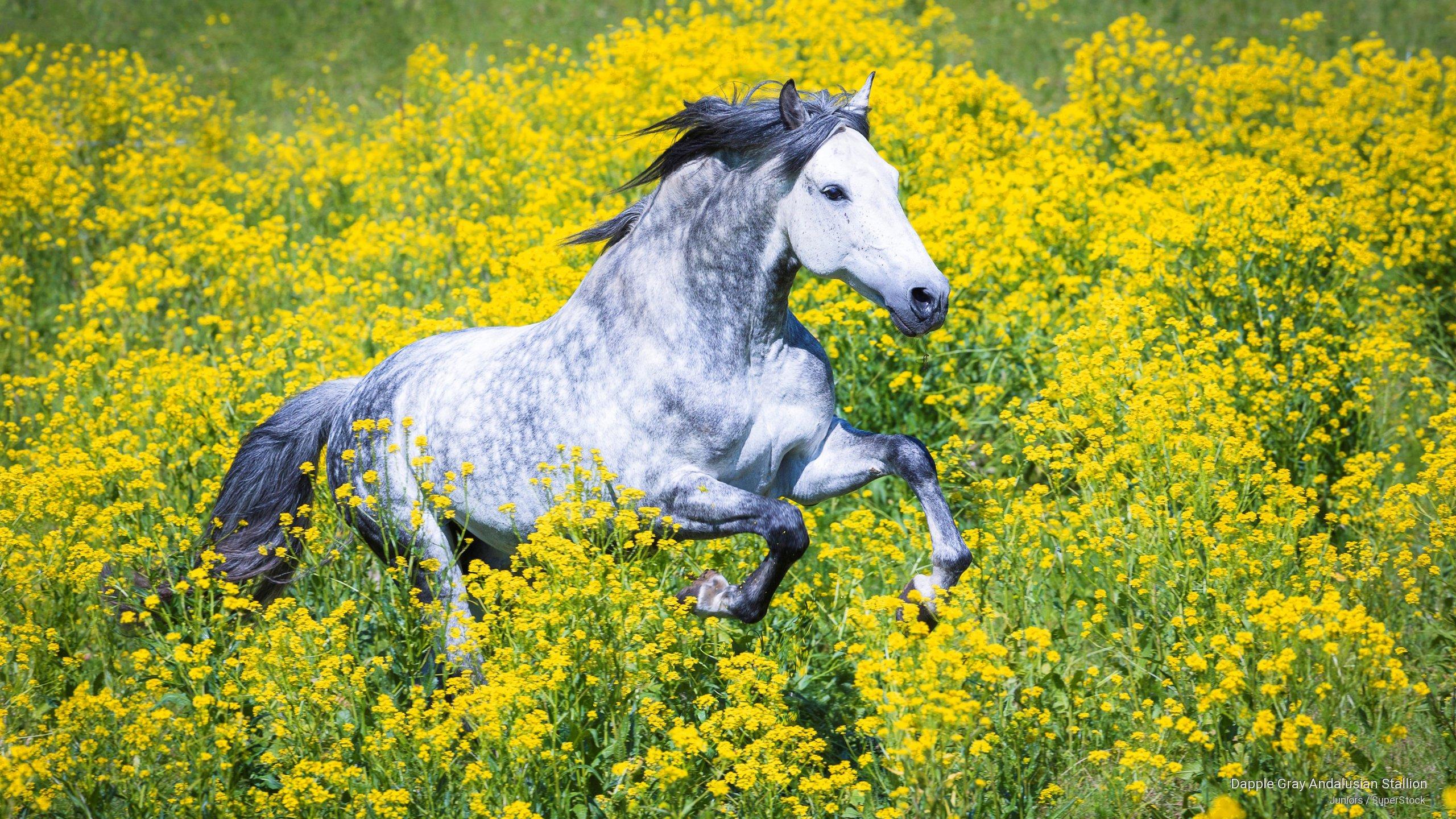 Dapple Gray Andalusian Stallion