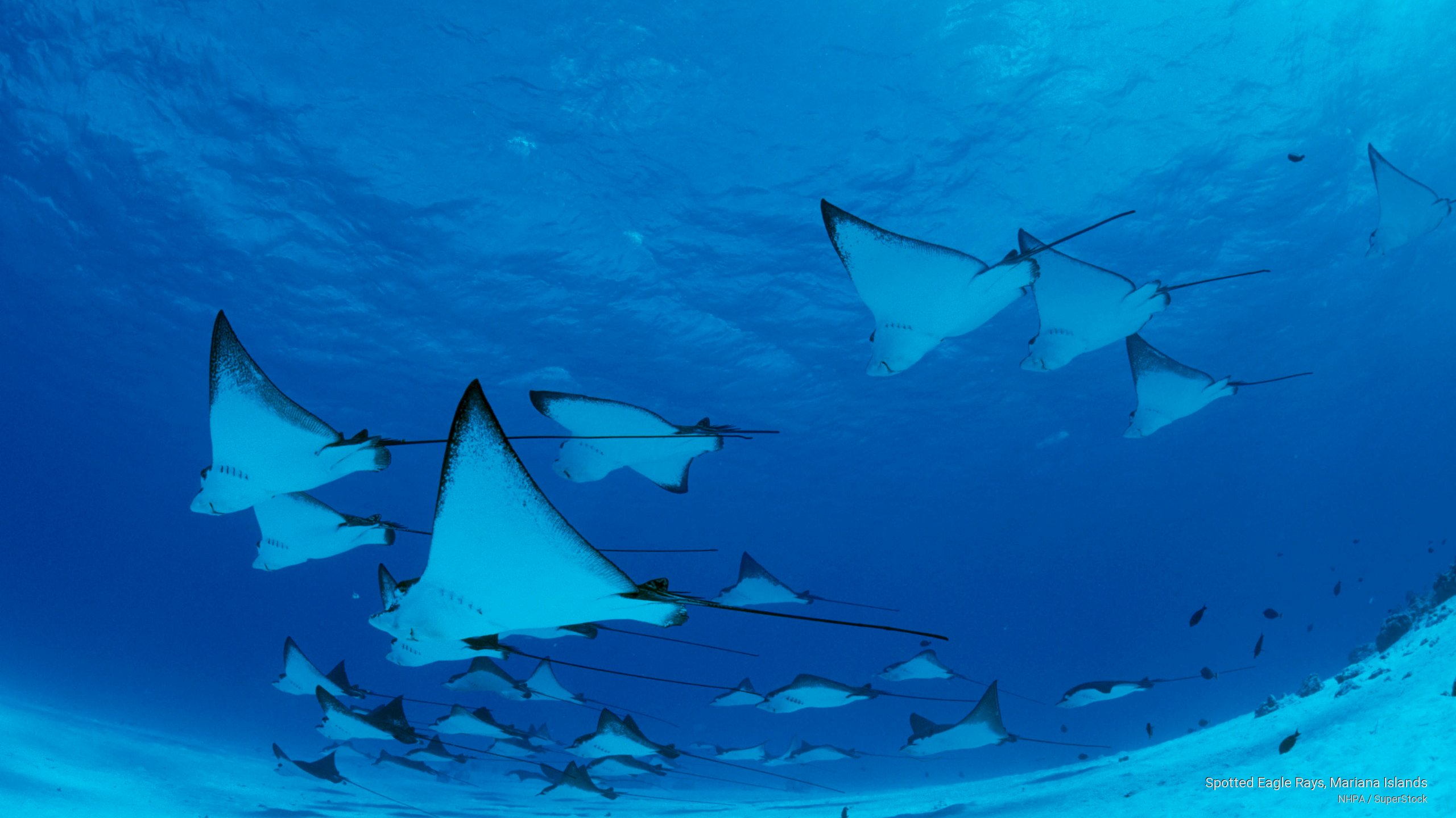 Spotted Eagle Rays, Mariana Islands