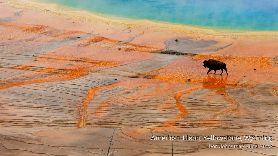 American Bison, Yellowstone, Wyoming