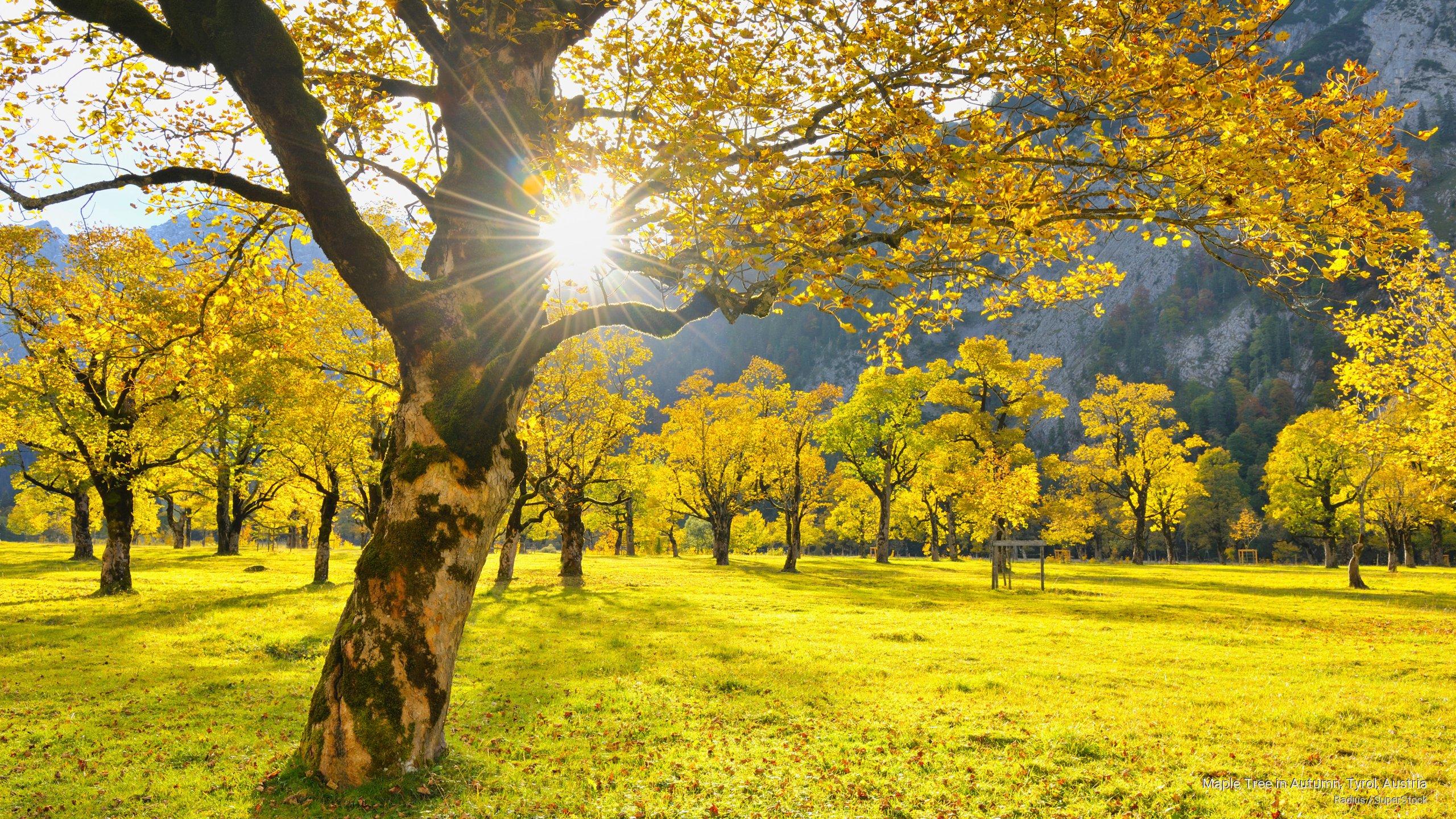 Maple Tree in Autumn, Tyrol, Austria