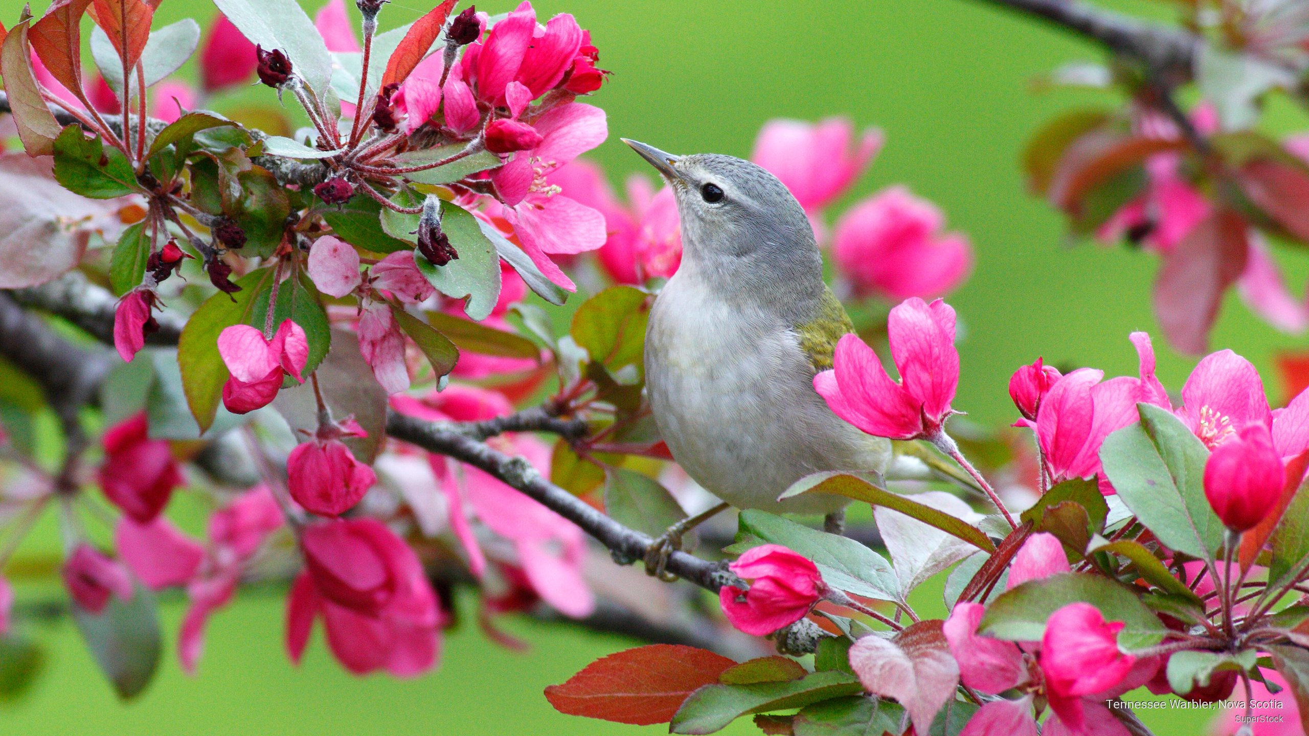 Tennessee Warbler, Nova Scotia