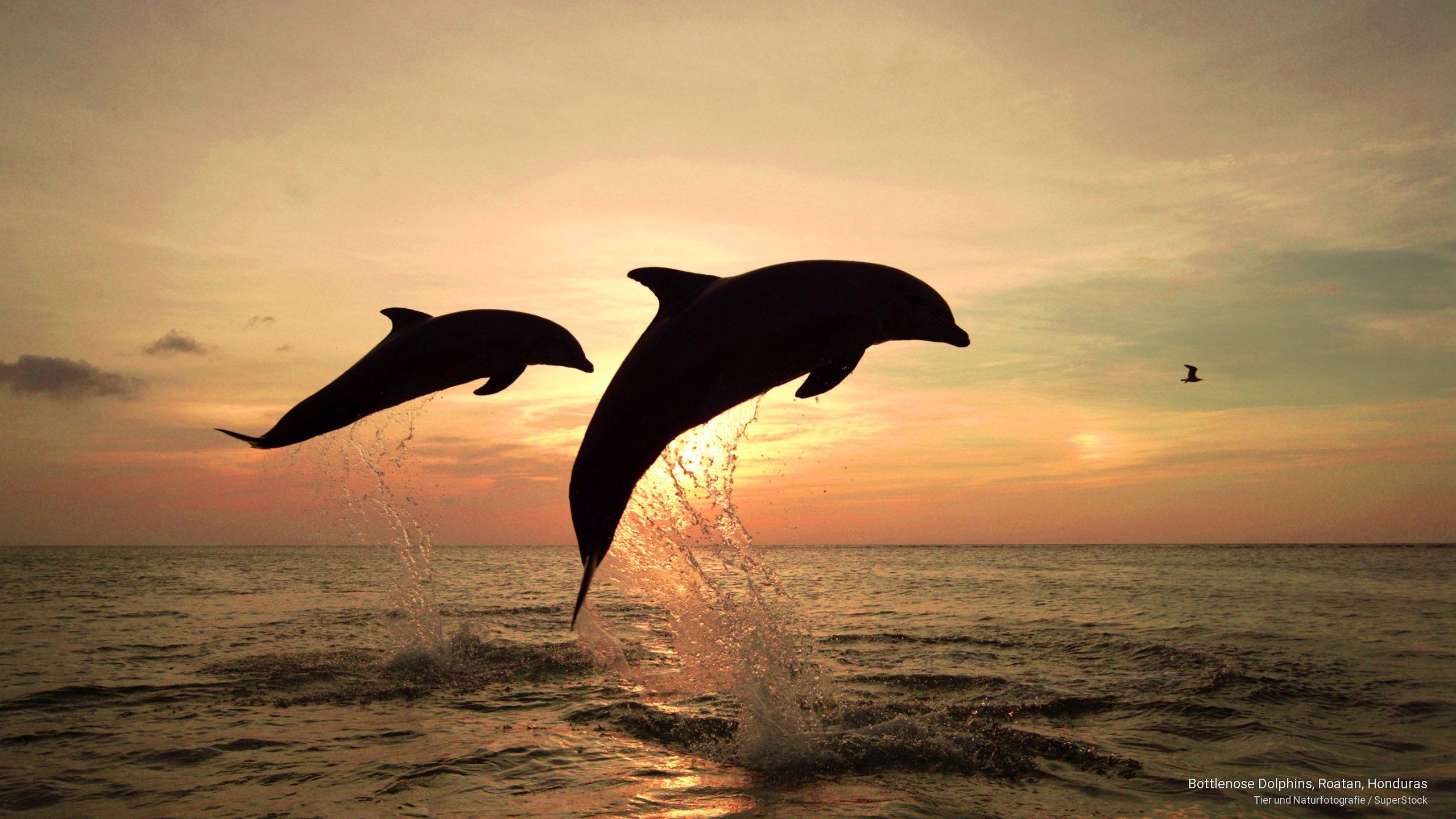 Bottlenose Dolphins, Roatan, Honduras